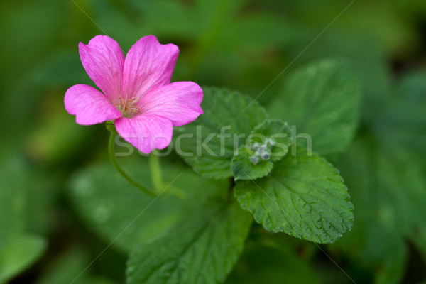 Endres cranesbill with leaves (lat. Geranium endressii) Stock photo © fisfra
