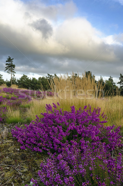 Bell Heather and Grasses Stock photo © flotsom