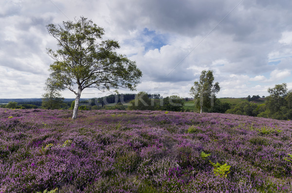 Purple Heather in Bloom in the New Forest Stock photo © flotsom