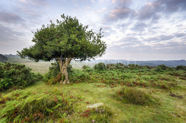 Dawn in the New Forest Stock photo © flotsom