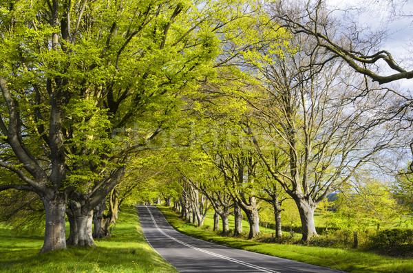 Avenue of Beech Trees Stock photo © flotsom