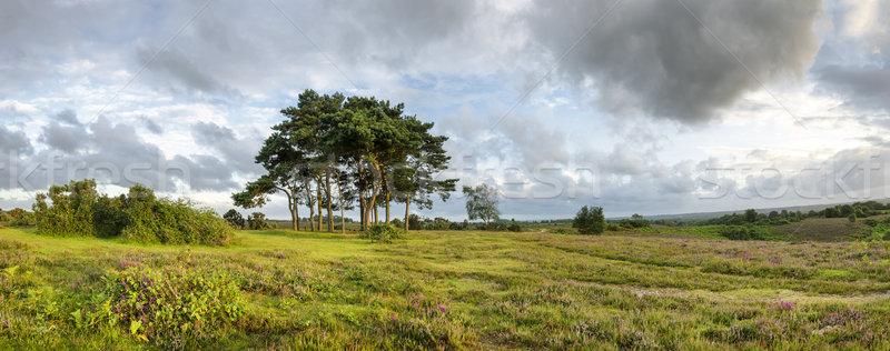 Nieuwe bos avond pine bomen top Stockfoto © flotsom