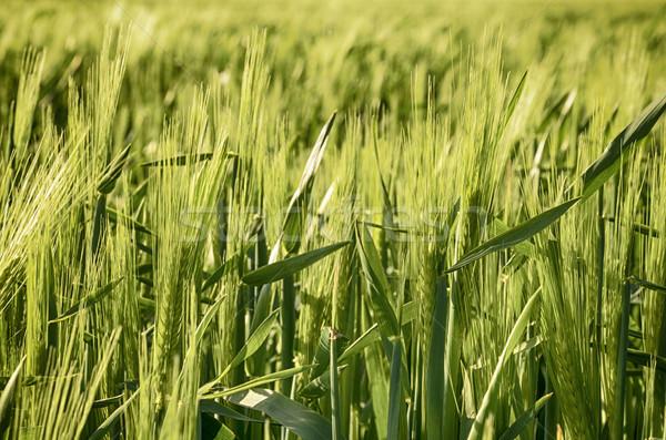 Young Barley Stock photo © flotsom