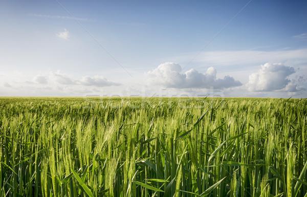 Orge domaine jeunes vert croissant ciel Photo stock © flotsom