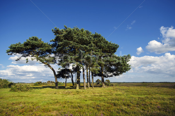 Scots Pine Trees Stock photo © flotsom