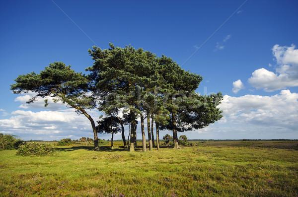 соснового деревья новых лес Top древних Сток-фото © flotsom
