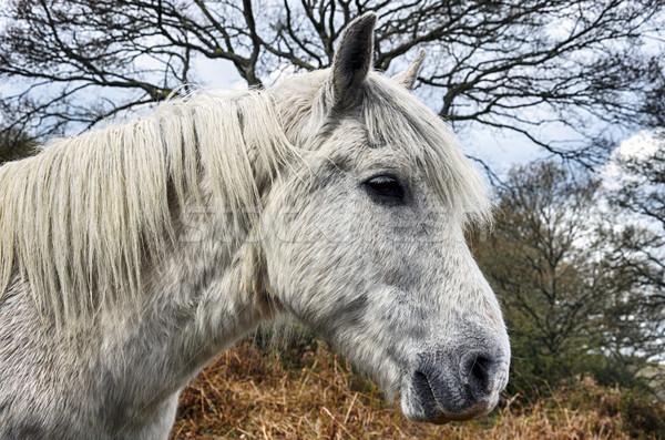 新しい 森林 ポニー 白 種馬 公園 ストックフォト © flotsom