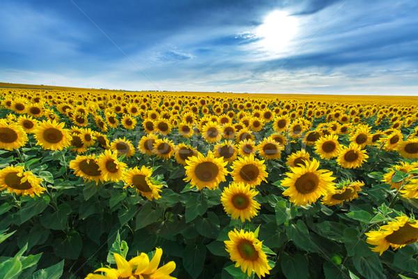 Alan ayçiçeği mavi gökyüzü çiçek yeşil mavi Stok fotoğraf © fogen