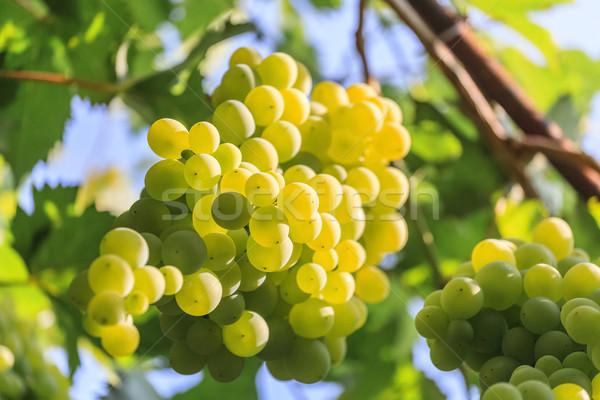 виноград Солнечный небе фрукты зеленый Сток-фото © fogen