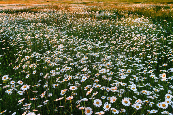 Field of wild daisies Stock photo © fogen