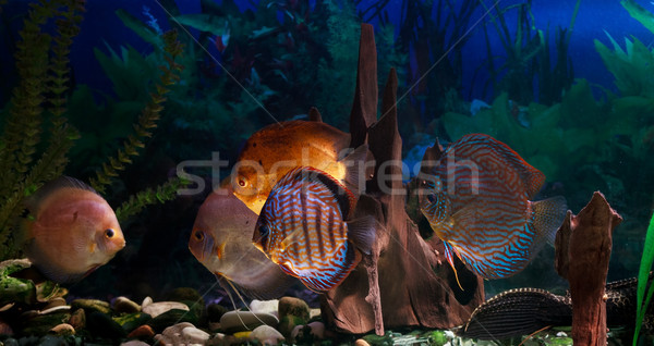 Amazonian Freshwater Disks. Symphysodon Stock photo © fogen