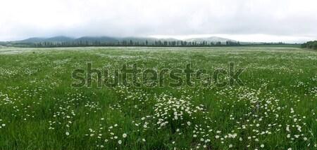 Stock fotó: Mező · százszorszép · virágok · panorámakép · kamilla · reggel