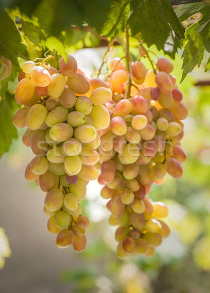 Bunches of grapes growing on vines Stock photo © fogen