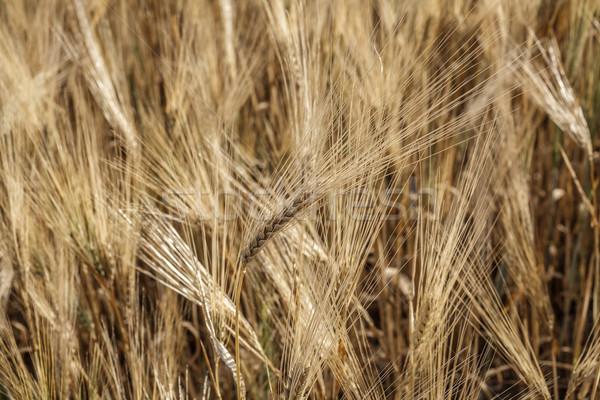 Alan ekmek mısır altın bitki Stok fotoğraf © fogen