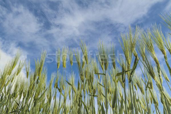 maturing wheat closeup Stock photo © fogen