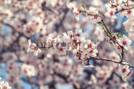 Stock photo: Flowering apricot tree