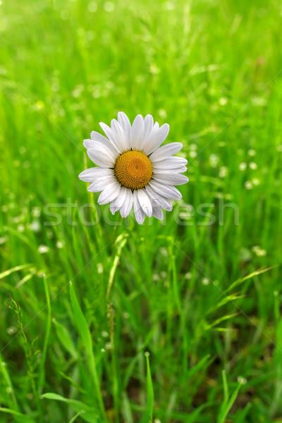 Magányos százszorszép virág közelkép zöld fű természet Stock fotó © fogen