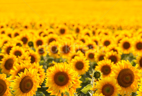 Sunflower field, backlit. Stock photo © fogen