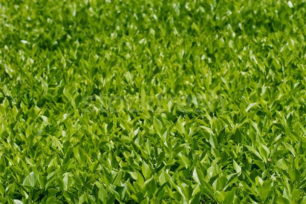 Babérlevél ültetvény babér bokor napos idő étel Stock fotó © fogen