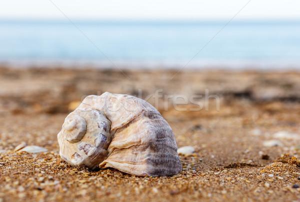 Kabuk deniz kum kabukları sahil Stok fotoğraf © fogen