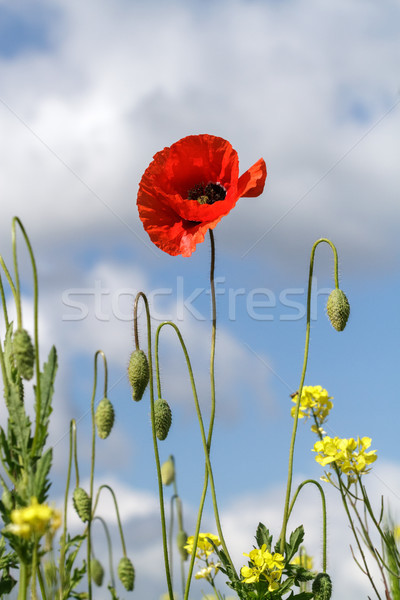 одиноко мак желтые цветы облачный небе красный Сток-фото © fogen