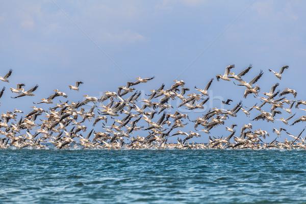 Vándorlás sereg rózsaszín légy víz madár Stock fotó © fogen