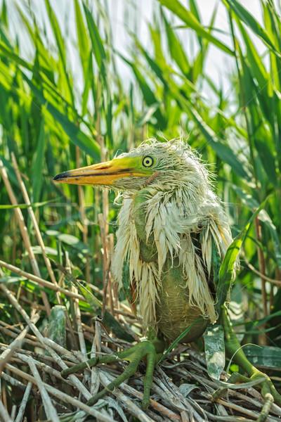 White Egret chick Stock photo © fogen