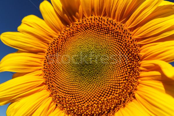 Zonnebloem veld bloem blauwe hemel tuin Stockfoto © fogen