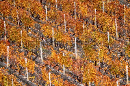 Vinha ensolarado outono Foto stock © fogen