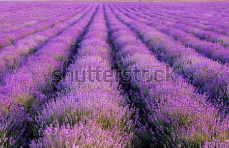 Lavanda plantação pôr do sol flores perfumado Foto stock © fogen