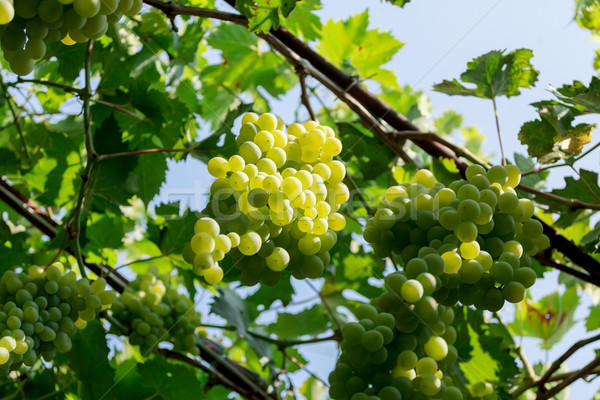 Bos witte druiven zonnige hemel vruchten Stockfoto © fogen