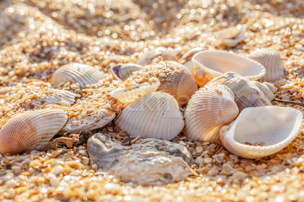 Shell molluscs in the sand Stock photo © fogen