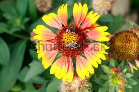 Bee collects pollen from flowers Stock photo © fogen