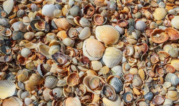 Sok tenger kagylók tengerpart nyár kagylók Stock fotó © fogen