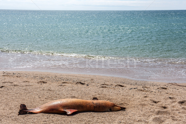 Dead Bottlenose dolphin. Stock photo © fogen