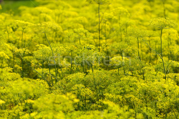 Yellow Flowers dill Stock photo © fogen