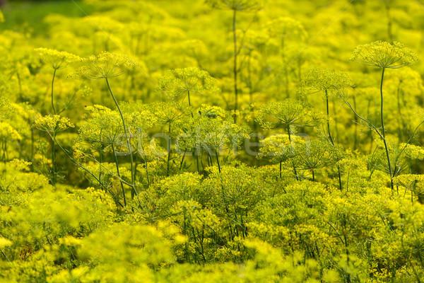 Yellow Flowers dill Stock photo © fogen