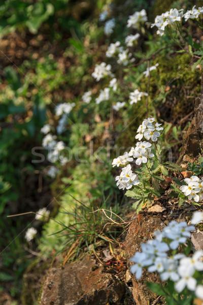 Stock fotó: Fehér · virágok · emelkedő · közelkép · kicsi · fehér · virág · növény