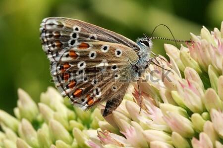 Pillangó virágzó növény tarka növények iszik Stock fotó © fogen