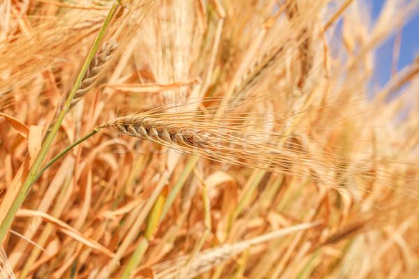 Tarwe oren zomer Blauw brood Stockfoto © fogen