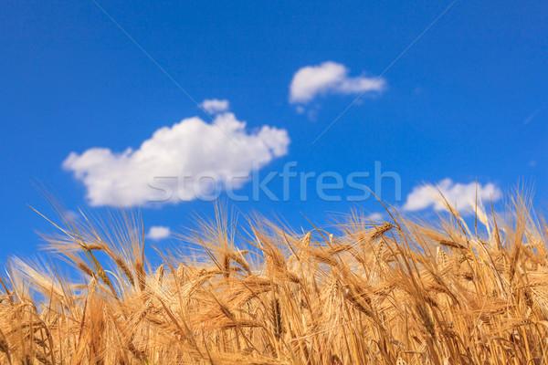Kulaklar olgun buğday mavi gökyüzü bulutlar çim Stok fotoğraf © fogen