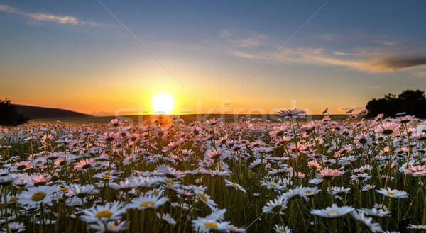 Sunset over a field of chamomile Stock photo © fogen