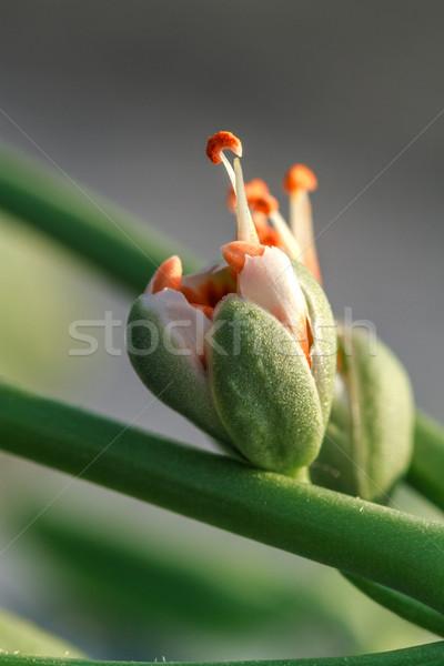 Turuncu çiçek tomurcuk doku Stok fotoğraf © fogen