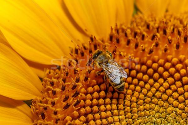 пчелиного меда подсолнечника Bee цветок природного Сток-фото © fogen