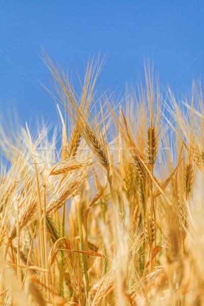 Kulaklar olgun buğday gökyüzü çim Stok fotoğraf © fogen