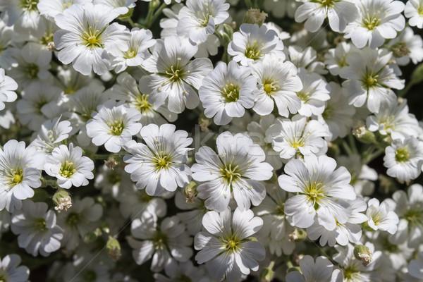 Wild witte bloemen veld ondiep top Stockfoto © fogen
