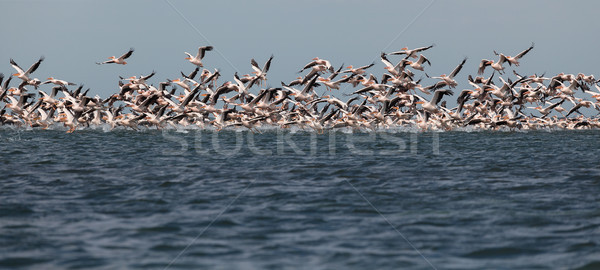 migration of pelicans Stock photo © fogen