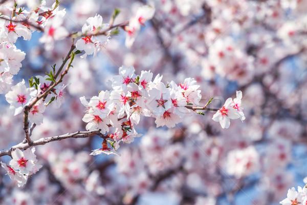 Flowering apricot tree Stock photo © fogen