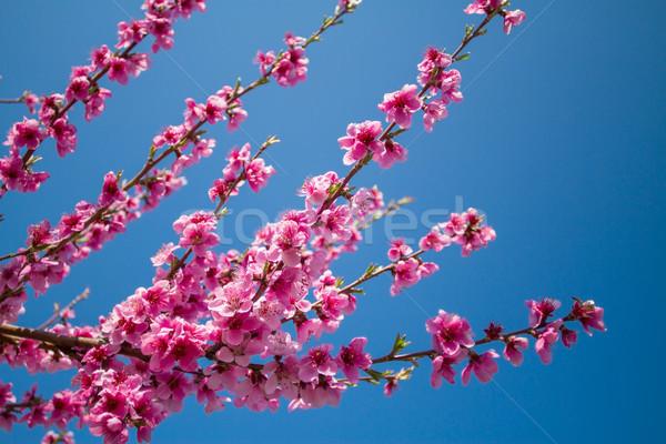 Stock fotó: Virágzó · barack · közelkép · virágok · kék · ég · fa