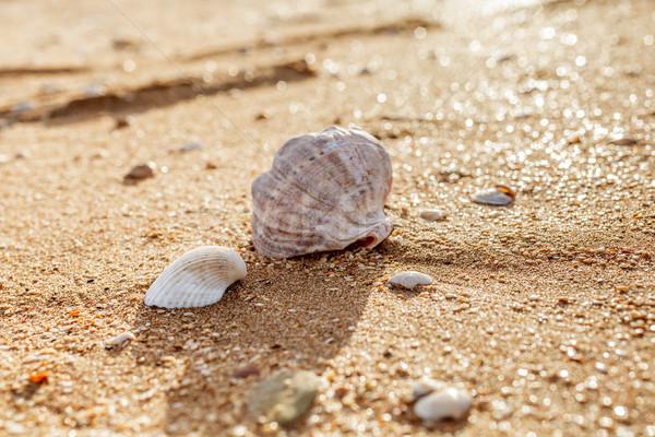 Shell Rapana venosa Stock photo © fogen